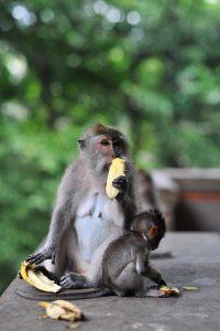 Opičí les Ubud